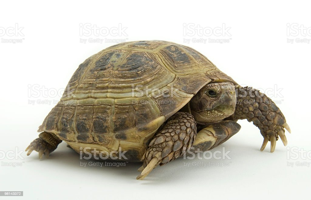 russian tortoise royalty-free stock photo