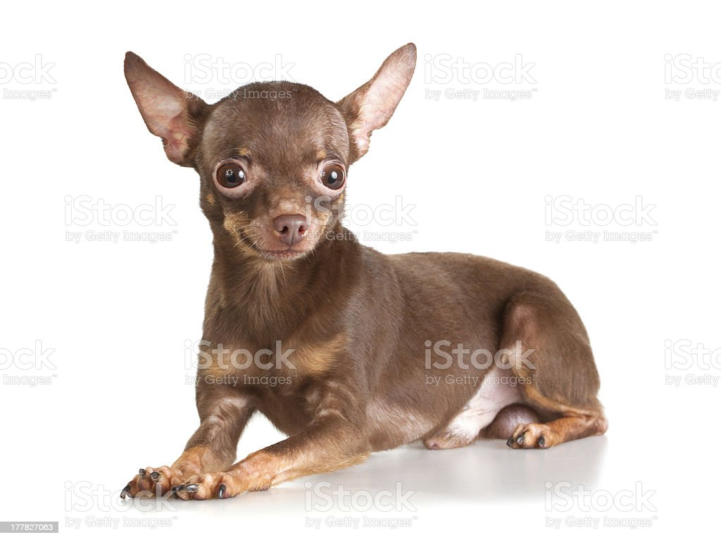 Russian toy terrier stock photo
