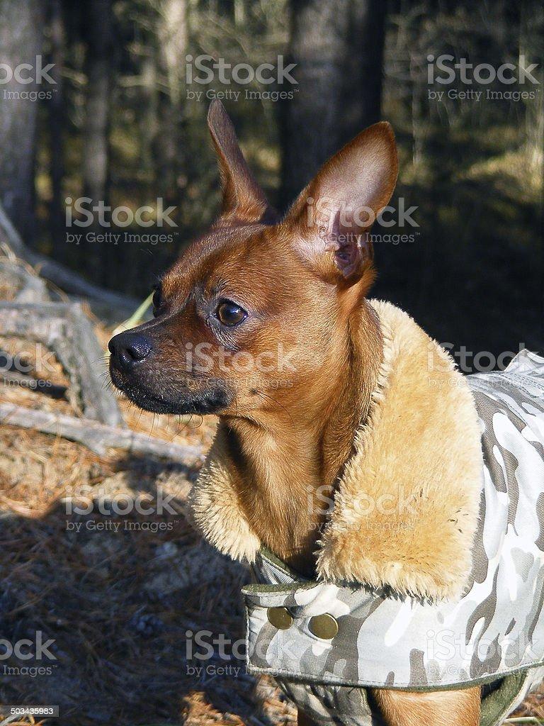 Russian toy terrier portrait in coat stock photo