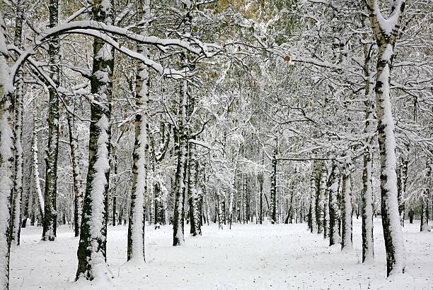 Russian winter - birch forest – Foto