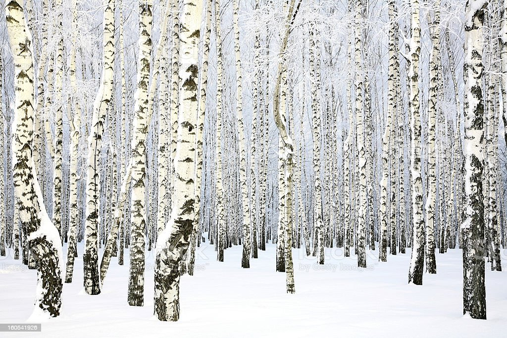 Russian winter - Birch Grove royalty-free stock photo