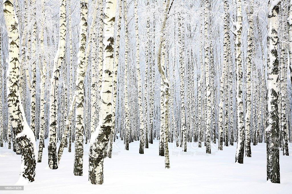 Russian winter - Birch Grove stock photo