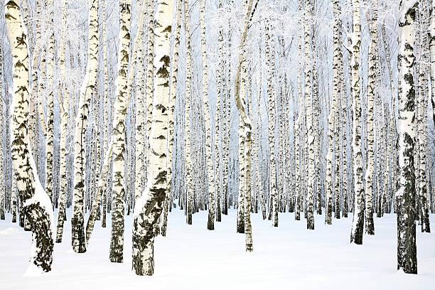 Russische winter-Birke Grove – Foto