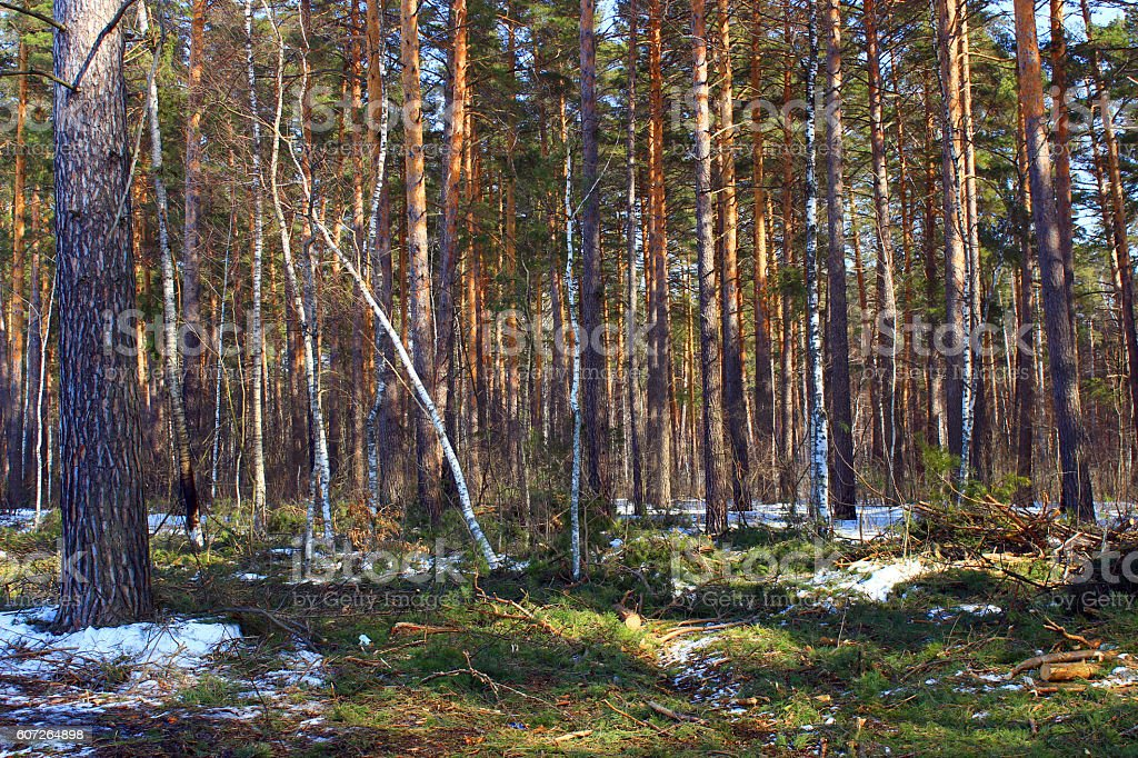 Russian winter forest with melting snow stock photo