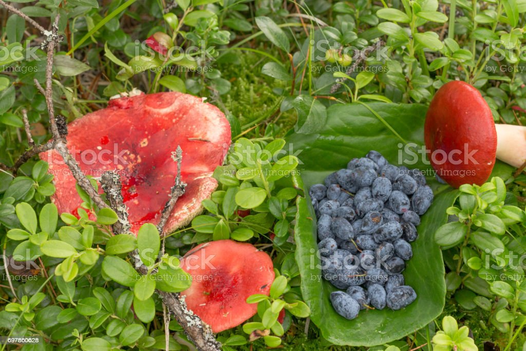 russula and blue berries on the grass with fern leaves and cranb stock photo