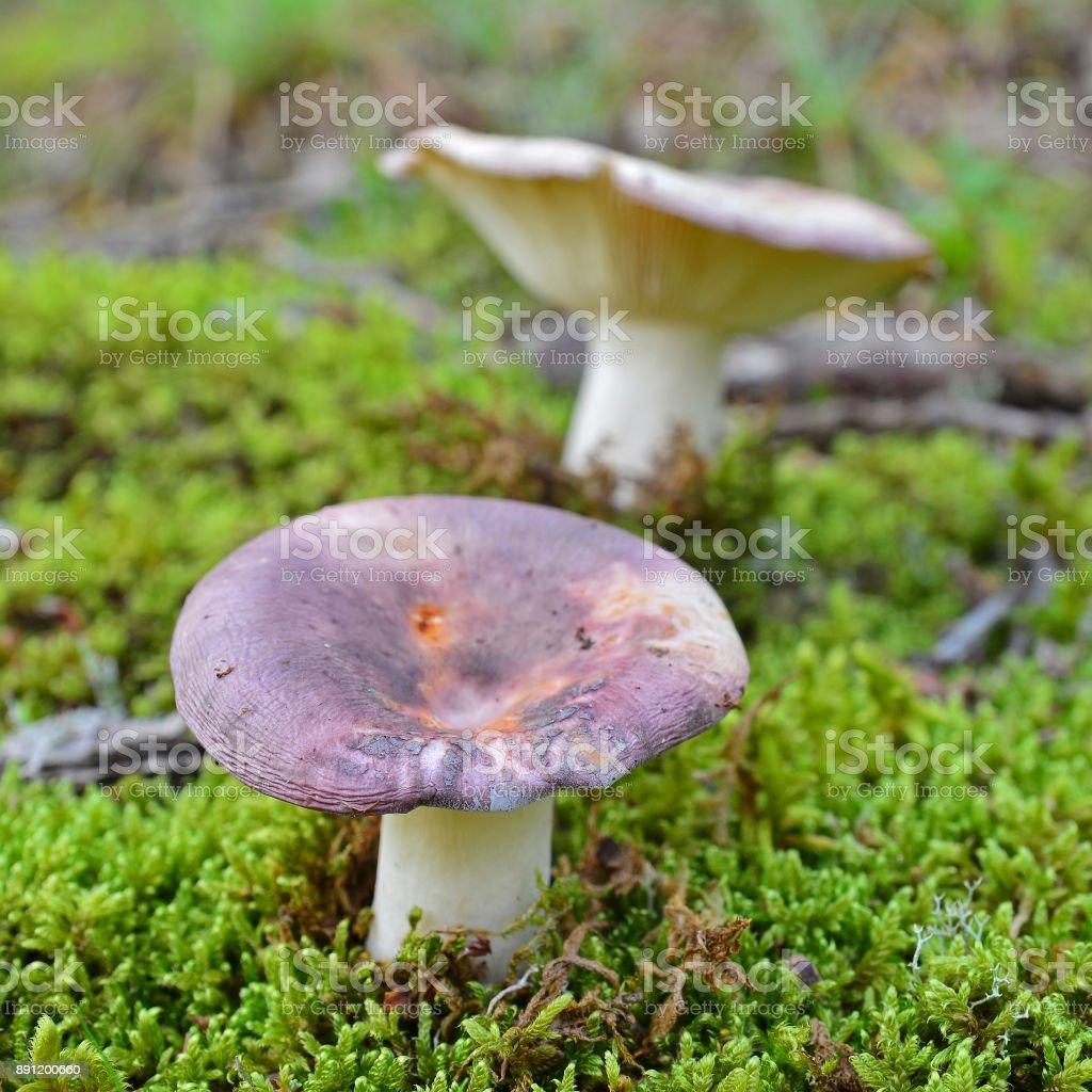 russula cyanoxantha mushroom stock photo
