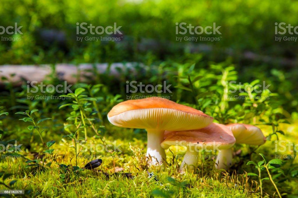 Russula mushrooms in Finish Lapland royalty-free stock photo
