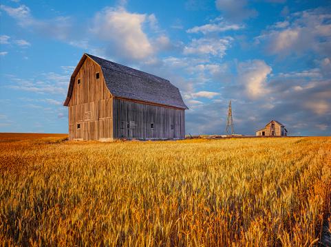 Antique barn in corn field in Idaho, Two story old barn, unpainted barn, weathered barn in Idaho