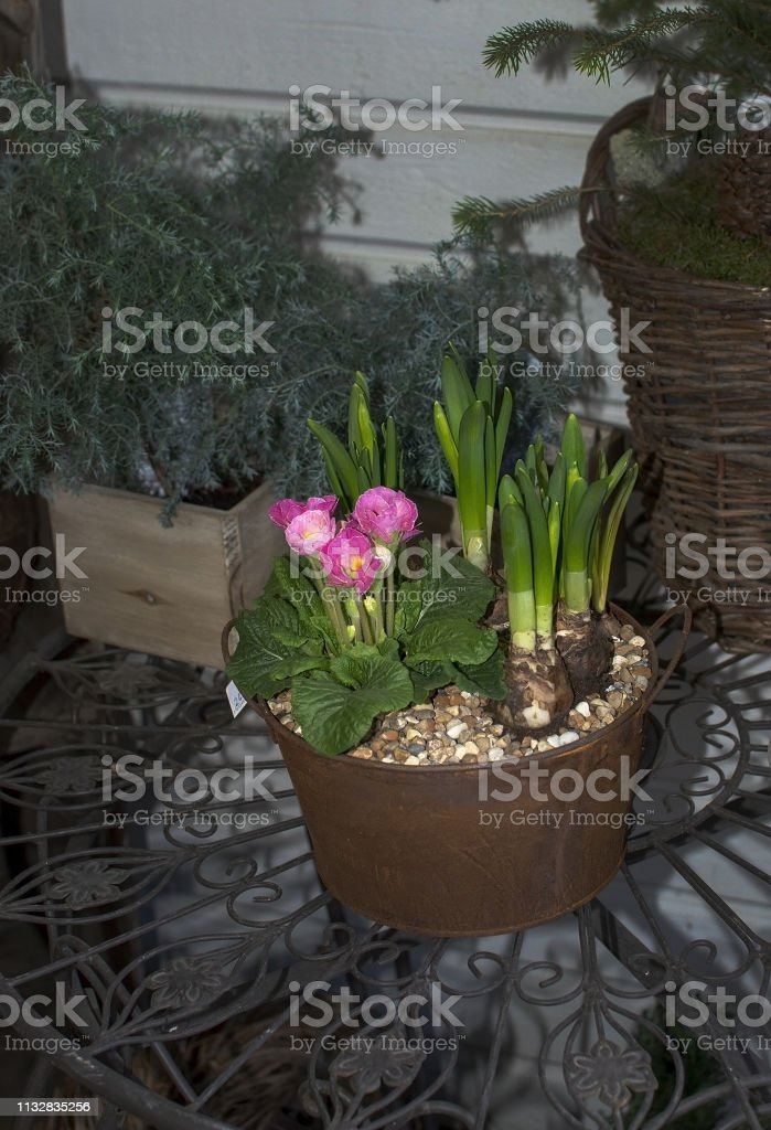 Rustic flower arrangement with pink tulips in clay pots and wicker...