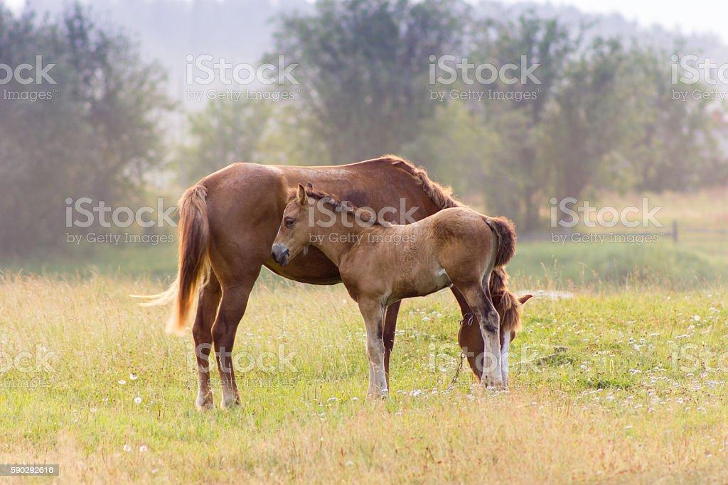 Rustic horse with foal royaltyfri bildbanksbilder