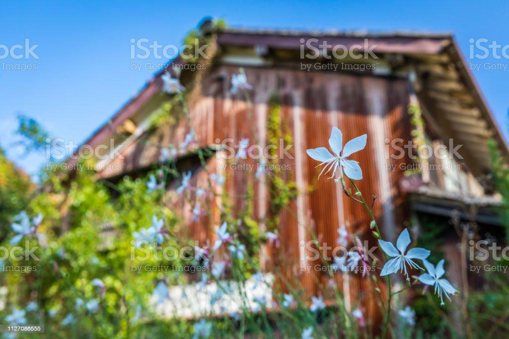 Rustic Wildflowers in Iwami Ginzan stock photo