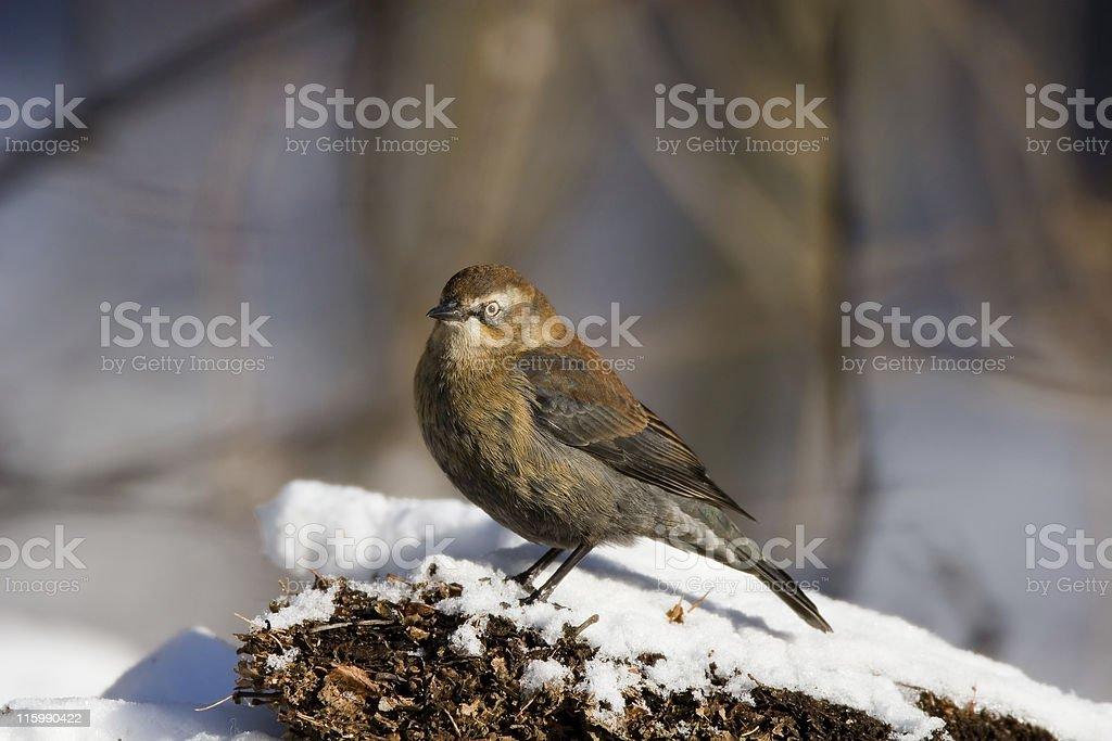 Rusty Blackbird royalty-free stock photo