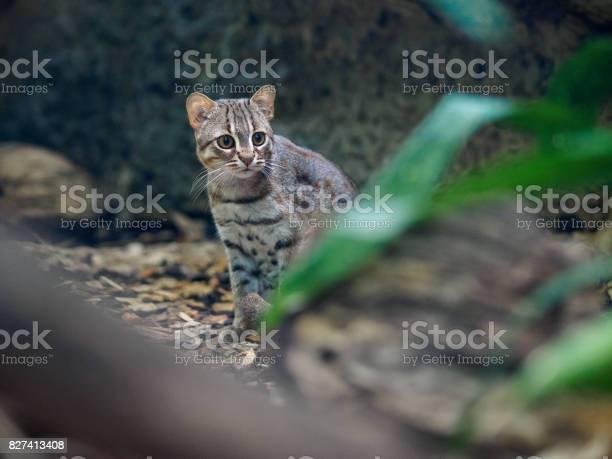 Rusty cat in zoo picture id827413408?b=1&k=6&m=827413408&s=612x612&h=79vt1bj4pq58udvcjydzaxp4yalvf9nt6n7nwzov2om=