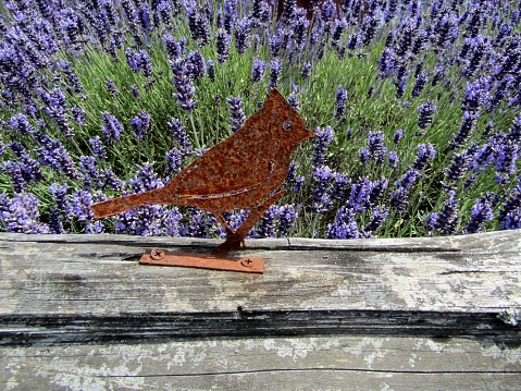Rusty metal bird on top of lavender field fence