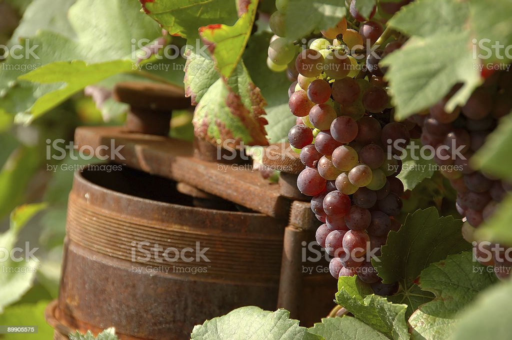 rusty wine press beside grapes on vine royalty-free stock photo