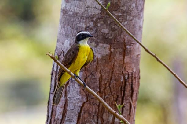 Rusty-margined Kiskadee perching on a small branch against a brown tree stamm, San Jose do Rio Claro, Mato Grosso, Brazil – Foto