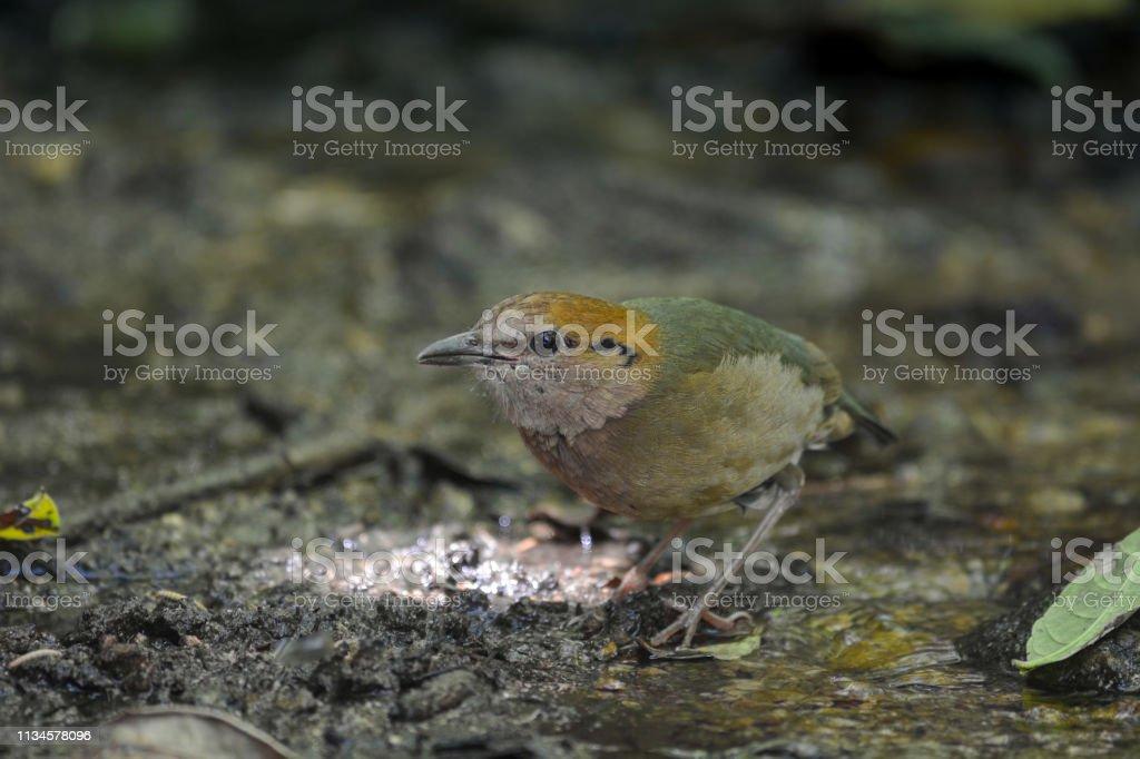 Rusty-naped Pitta, Beautiful bird in Thailand.