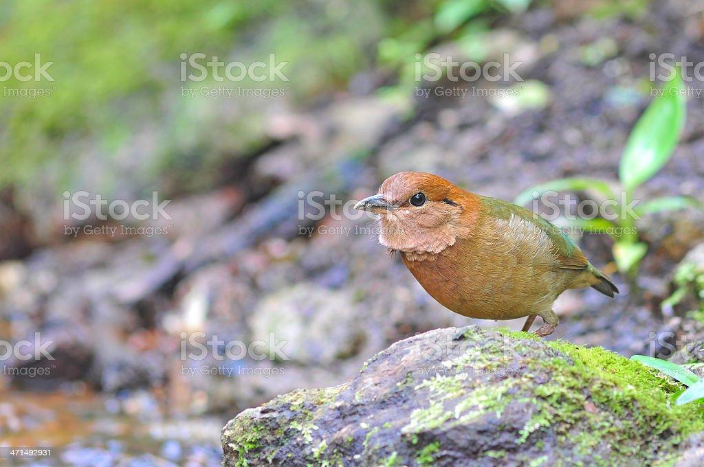 Rusty-naped Pitta royalty-free stock photo