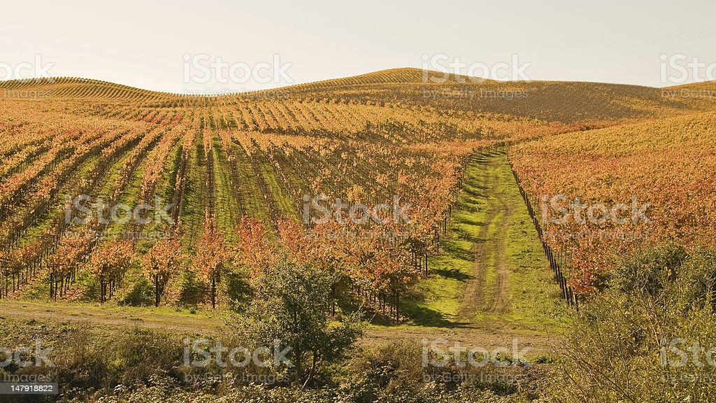rutted road through autumn vineyard stock photo more pictures of