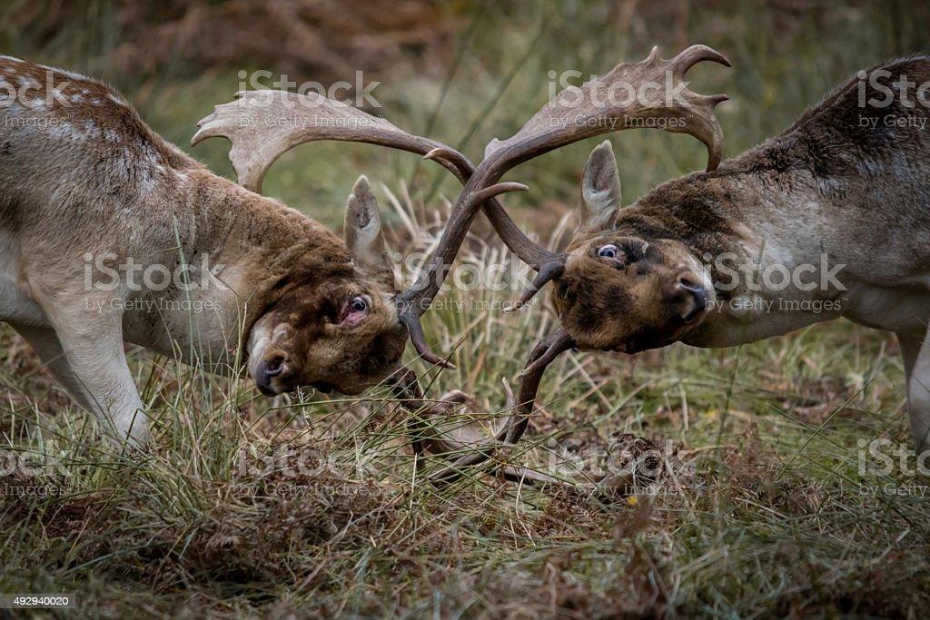 Rutting Deer Bucks stock photo