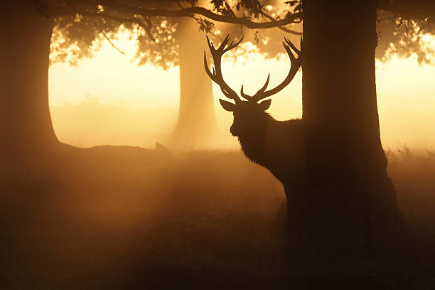 rutting stag in misty woodland with orange sunbeam - whiteway deer stock photos and pictures