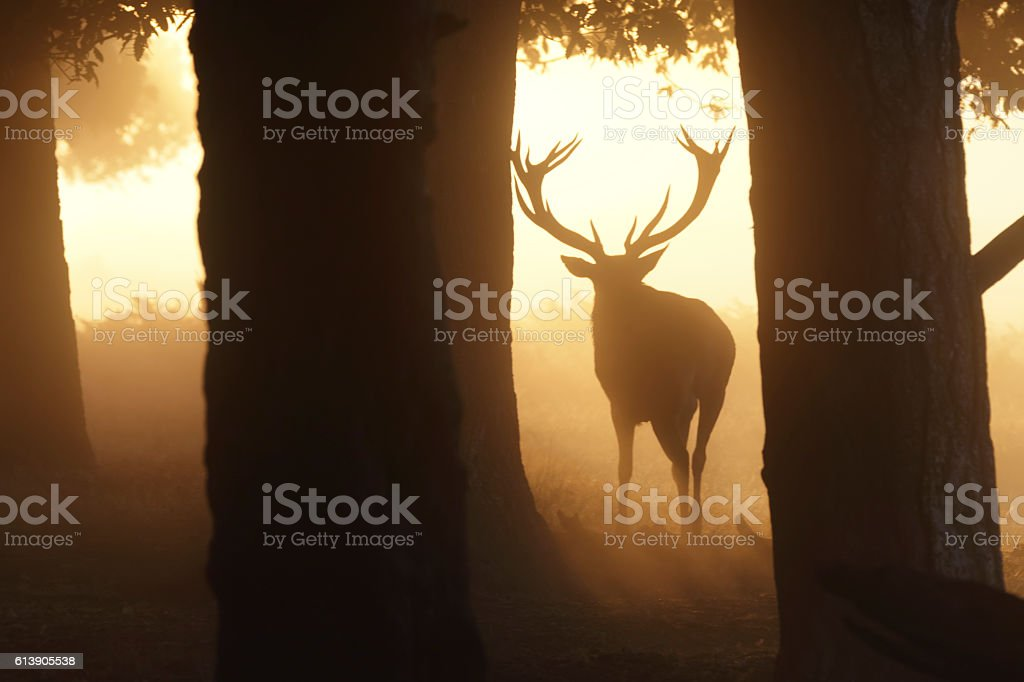 Rutting stag in misty woodland with orange sunbeam stock photo