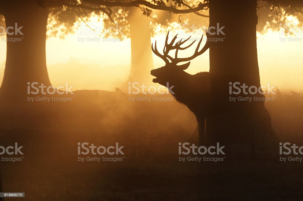 Mature stag in misty woodland roaring in the rut stock photo