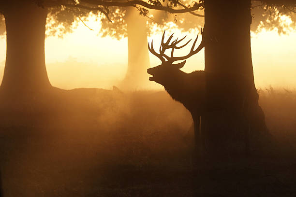 mature stag in misty woodland roaring in the rut - whiteway deer stock photos and pictures
