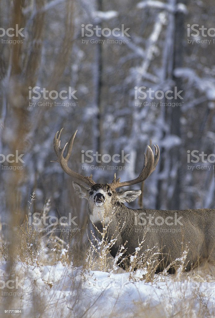 Rutting Mulie in Snow stock photo