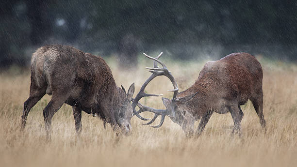 Rutting Red Deer Two male stags battle for mating rights with the local females. rutting stock pictures, royalty-free photos & images