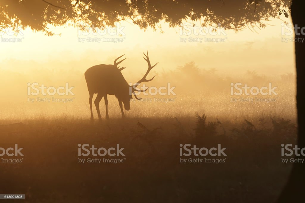Rutting red deer stag in misty autumn landscape at dawn stock photo