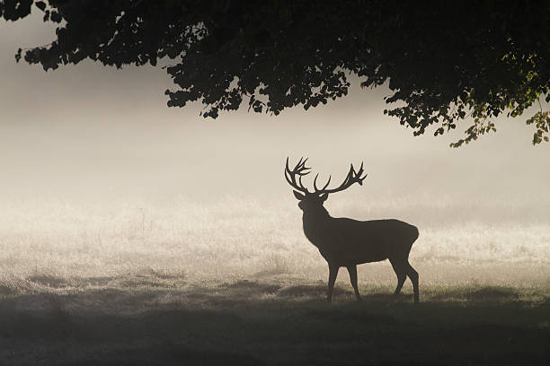 magnificent rutting stag in foggy landscape silhouette - whiteway deer stock photos and pictures