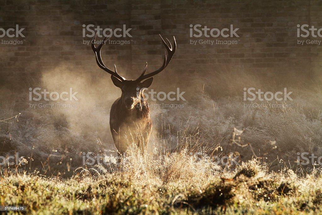 Rutting stag warm breath in cold autumn mist stock photo