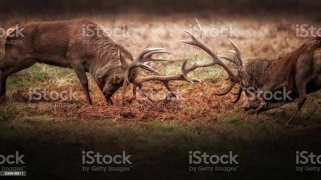 Rutting Red Stags stock photo