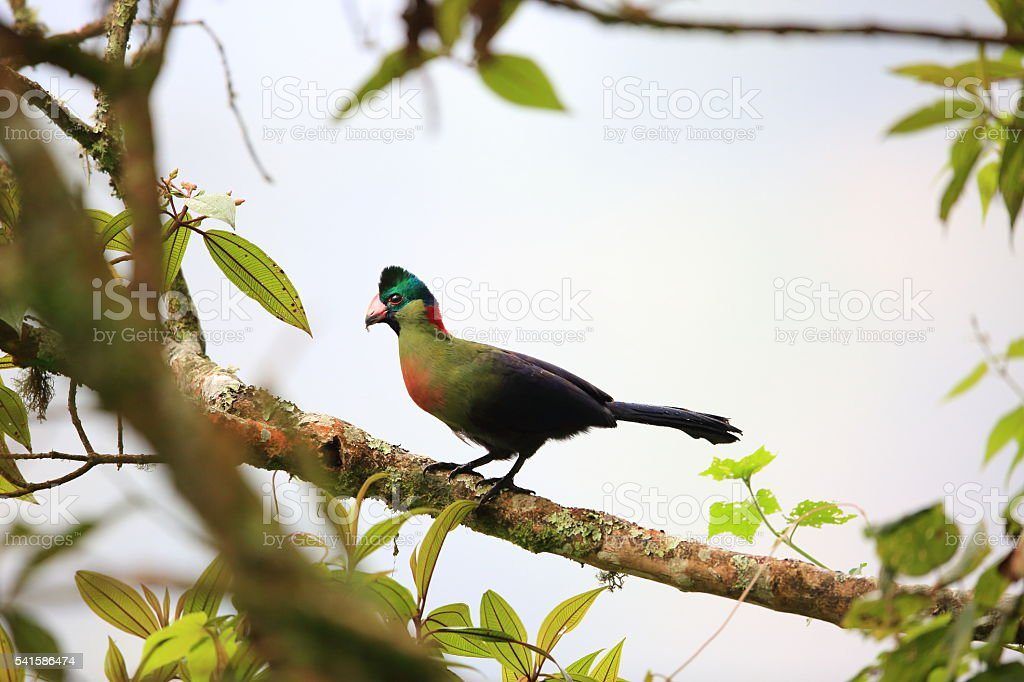 Ruwenzori turaco stock photo