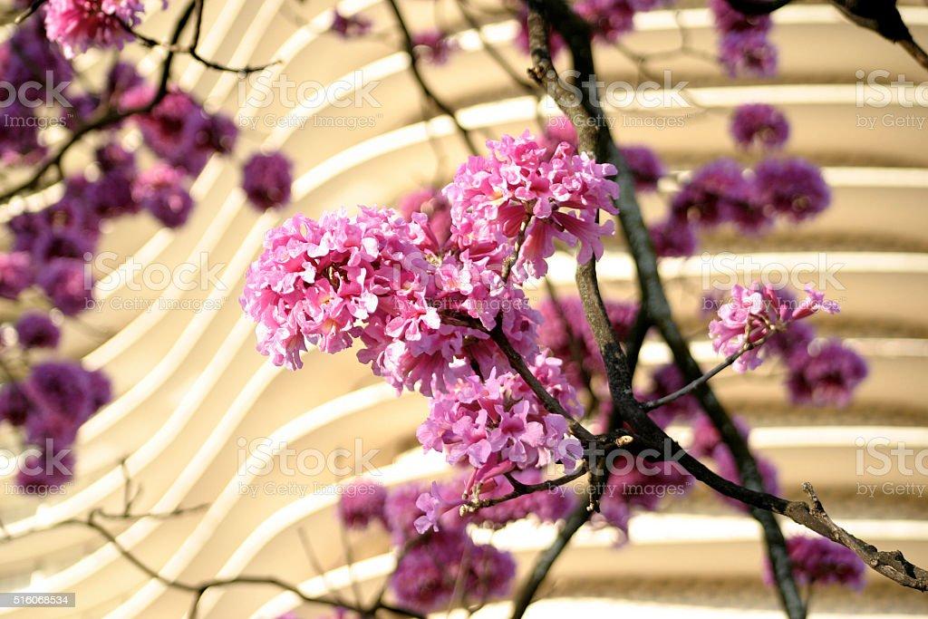 Árvore Sapucaia cor-de-rosa stock photo