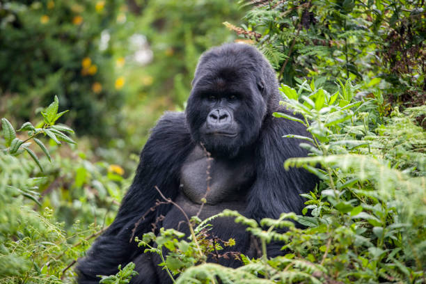 Rwanda Gorilla still stock photo