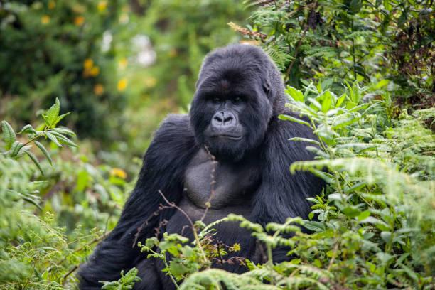 todavía de gorilas de ruanda - gorila fotografías e imágenes de stock