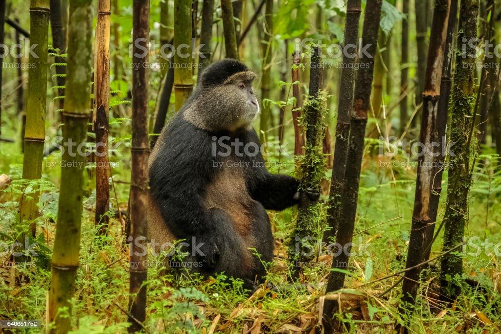 Rwandan golden monkey sitting in the middle of bamboo forest, Rwanda stock photo