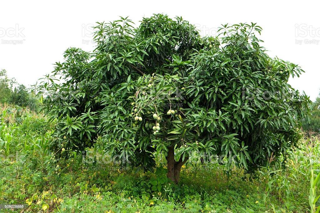 mango tree stock photos  pictures  u0026 royalty-free images