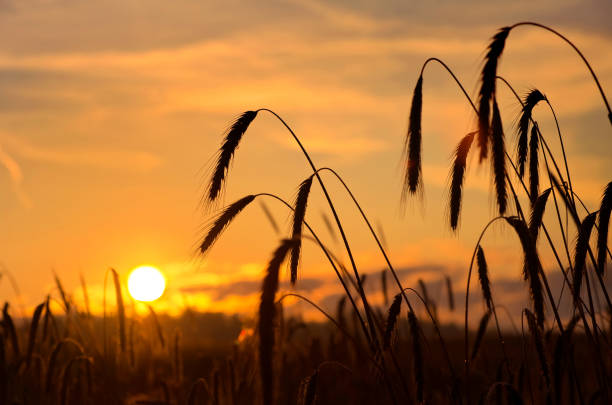 Rye ears against a sunset stock photo