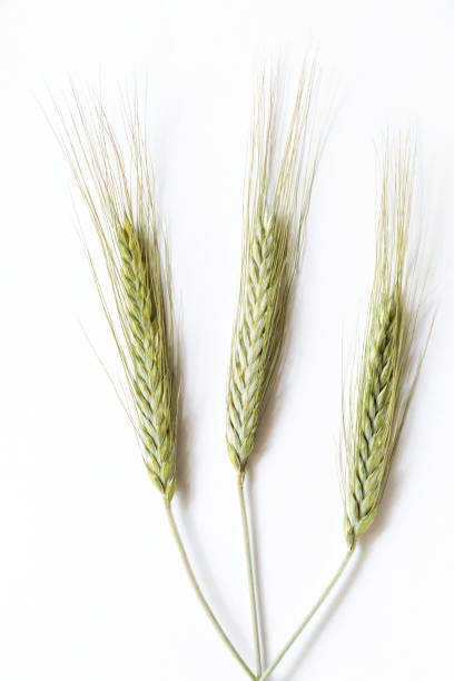 Rye ears on white background, close up stock photo