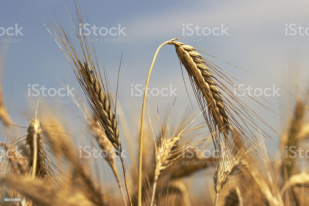 Rye ears stock photo