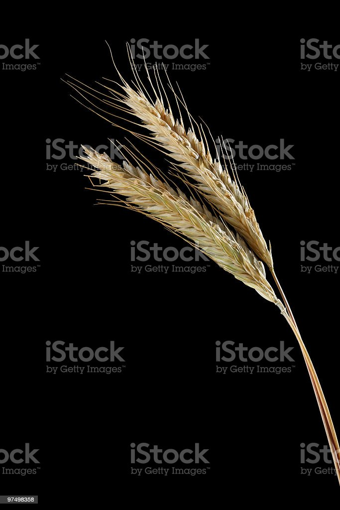 Rye ears royalty-free stock photo