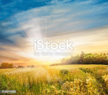 istock Rye field at sunset, landscape 516314593