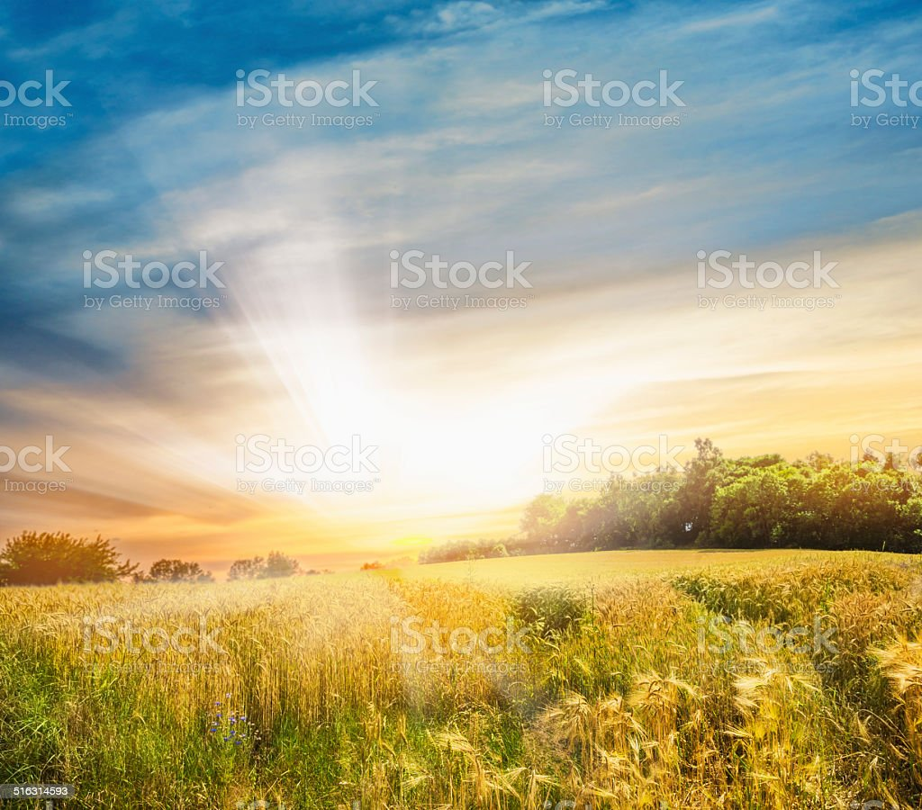 Rye field at sunset, landscape stock photo