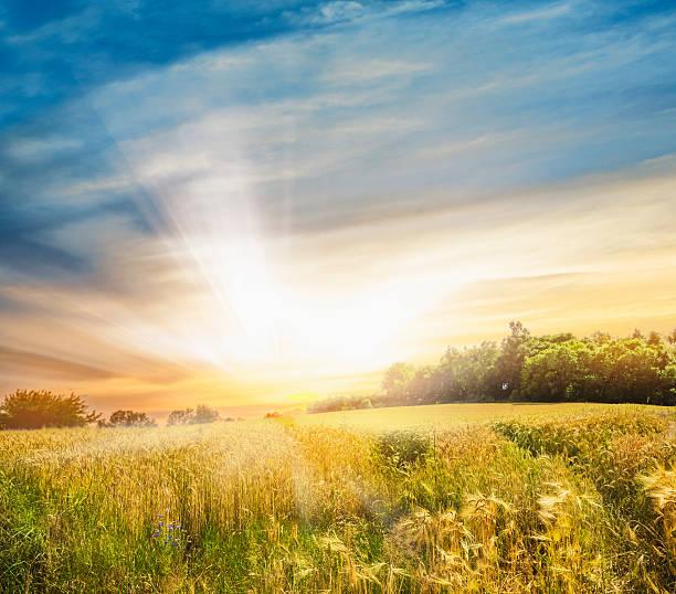 rye feld bei sonnenuntergang landschaft - weizen fotos stock-fotos und bilder