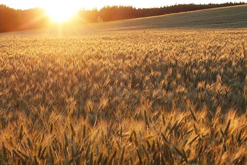 reife Ähren, Getreidefeld, Abendsonnenlicht, Leuchten und Strahlen, Roggen. Das Licht verfängt sich vornehmlich in den Grannen und entwickelt so eine schöne wogende Fläche mit sanften Übergängen. Es herrscht die wohltuende Stimmung eines lauen Sommerabends.