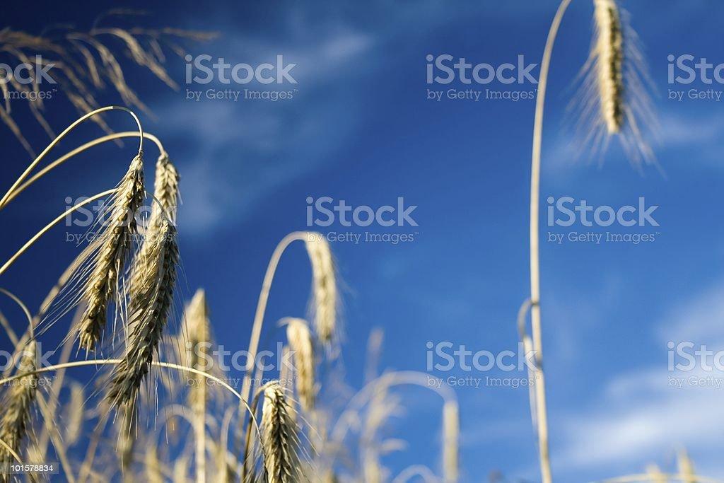 Rye field royalty-free stock photo