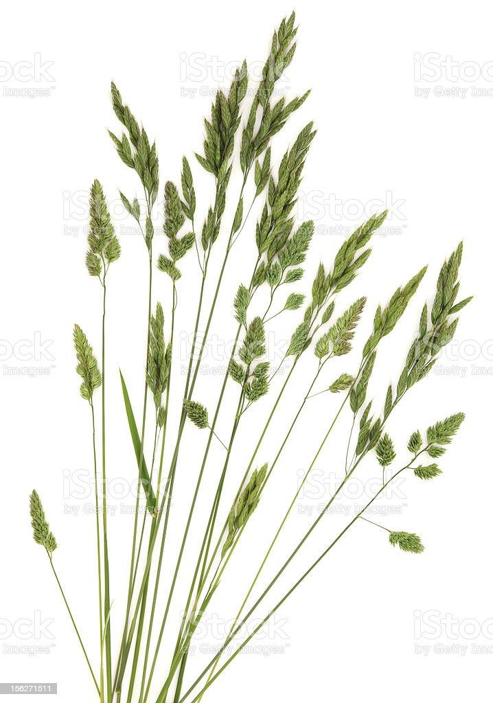 Rye Grass royalty-free stock photo